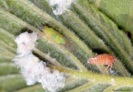 cicade 2