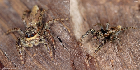Marpissa muscosa male and female