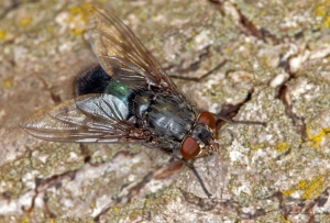 musca 2