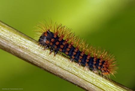 larva L1