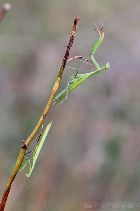 mantis 2.jpg