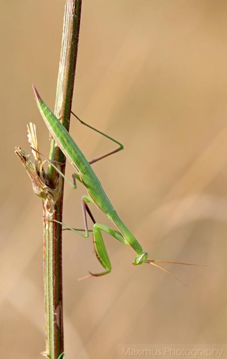 mantis 3.jpg