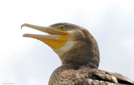 cormoran 2.jpg