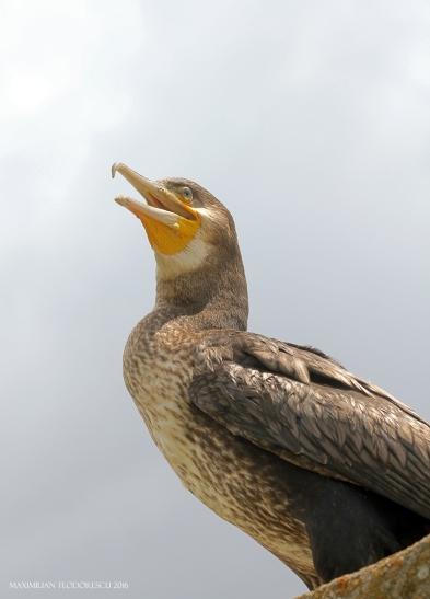 cormoran 3.jpg