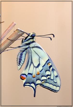 Papilio 1.jpg