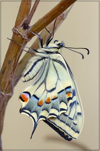 Papilio2.jpg