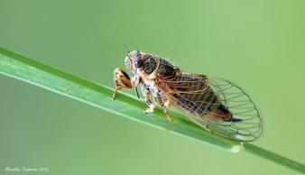 cicada1.jpg