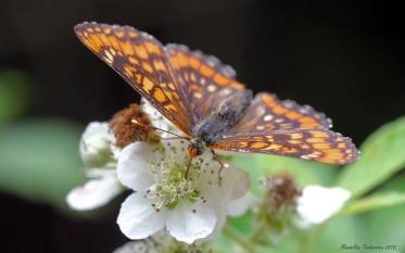 Euphydryas maturna 2.jpg