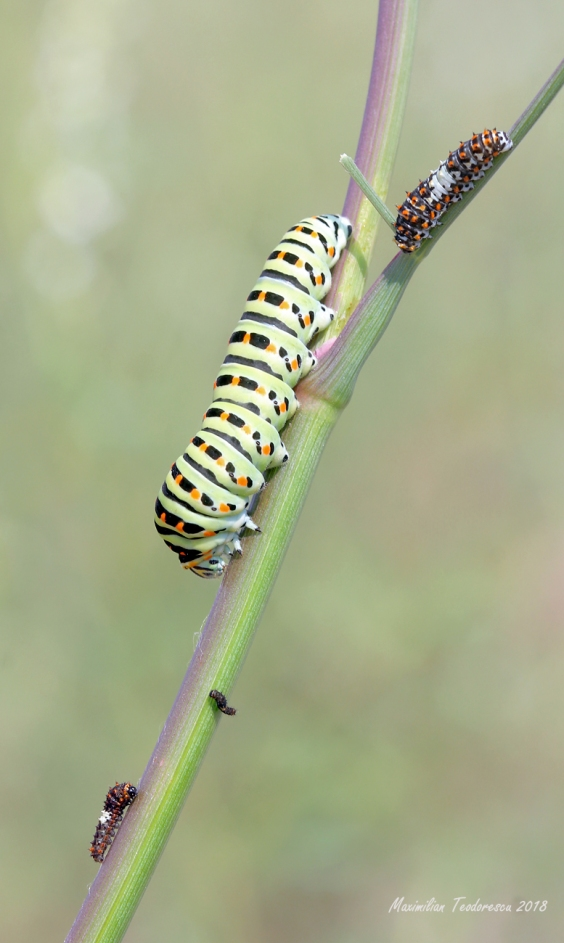 machaon1.jpg