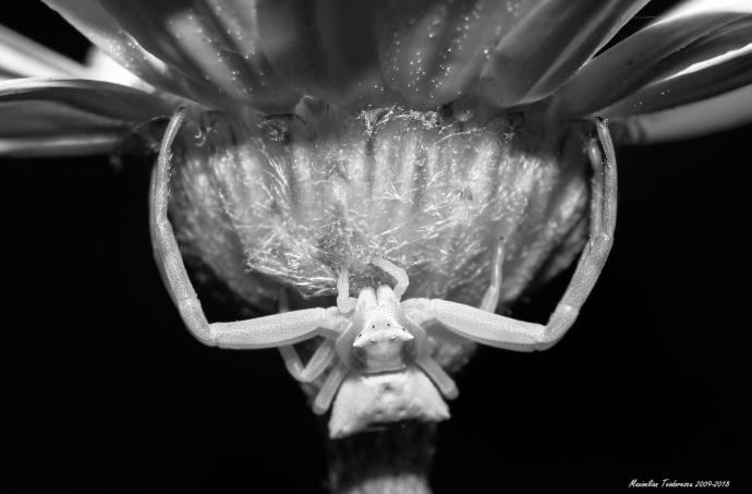 crabspider.jpg