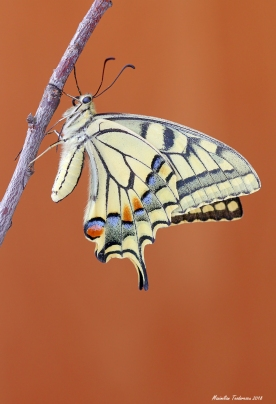 Papiliomachaon1.jpg
