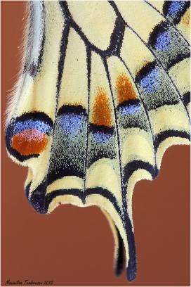 PapilioTail.jpg