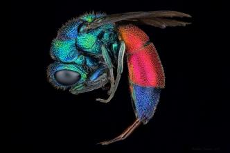cockoo wasp.jpg