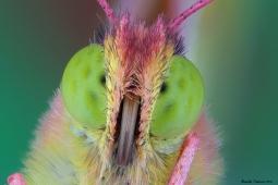 Colias head1.jpg