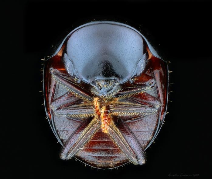 2mmcoleoptera.jpg