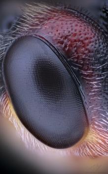 Agrypon polyxena eye.jpg