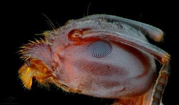 Ant head 3.jpg