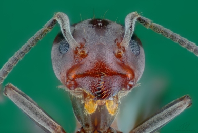 Ant head febr1.jpg