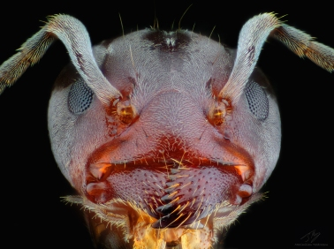 Ant head febr2.jpg