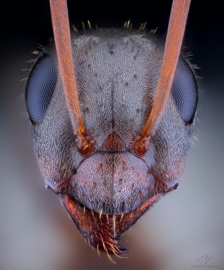 Ant head march 3.jpg