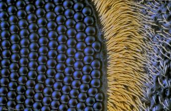 Batocera gigas eye 10x.jpg