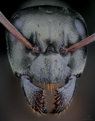 Black ant 2.jpg