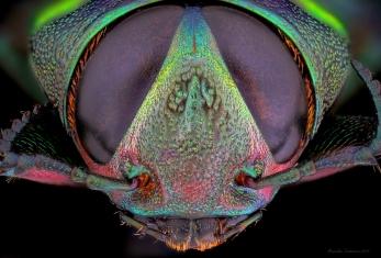 BuprestidaeBelionotaSP2.jpg