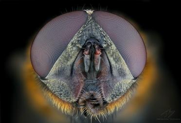 fly head c.jpg