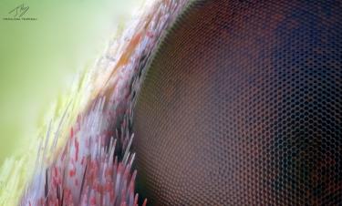 Gonepteryx rhamni eye.jpg