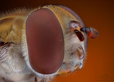 Hoverfly head2.jpg