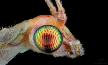 Lacewing eye 1.jpg