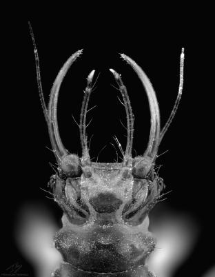 lacewing larvae 2.jpg