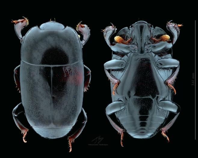 Platylomalus complanatus.jpg
