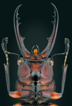 Prosopocoilus suturalis ventral.jpg