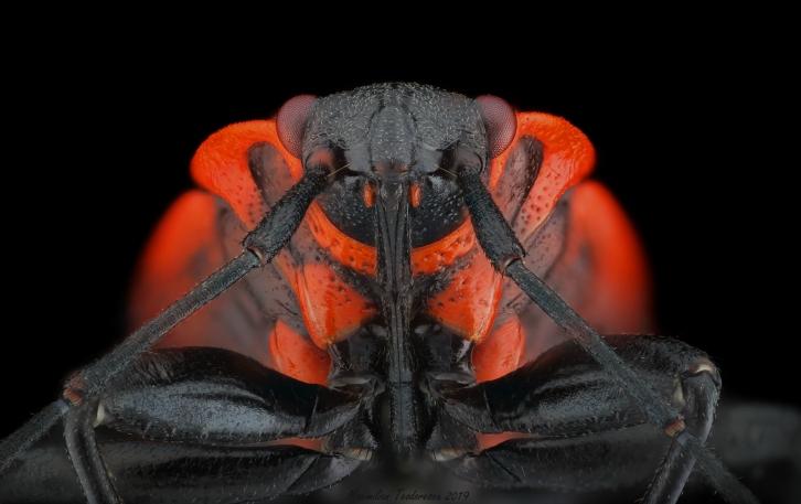Pyrrhocoris apterus2.jpg