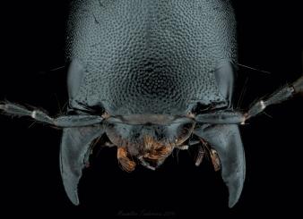 Staphylinidae.jpg