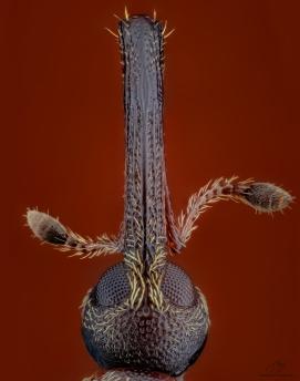 Weevil Febr.jpg