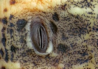 Zerynthiapolyxenacrisalis.jpg