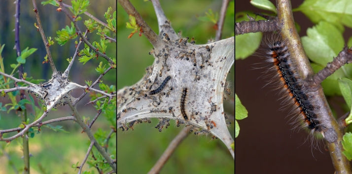 Eryogaster catax 2.jpg