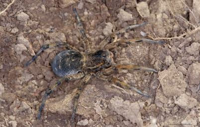 Lycosa singoriensis.jpg
