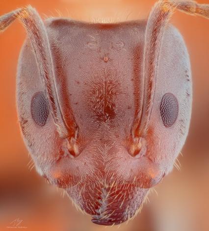Ant head.jpg