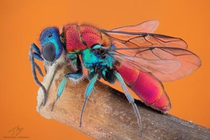 Chrysididae2.jpg
