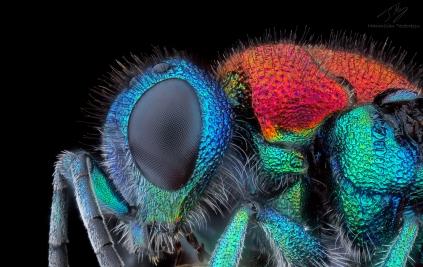 Chrysididae3.jpg