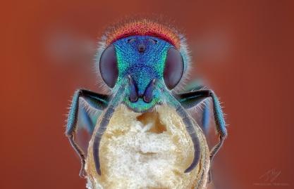 Chrysididae4.jpg
