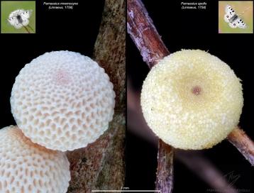 Parnassius eggs.jpg