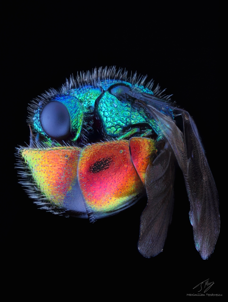 Rainbow wasp.jpg