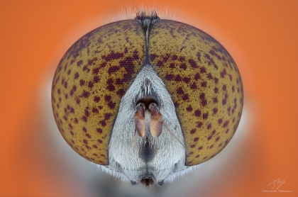 Syrphidae2.jpg