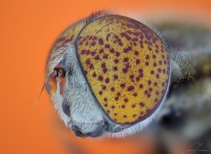 Syrphidae3.jpg