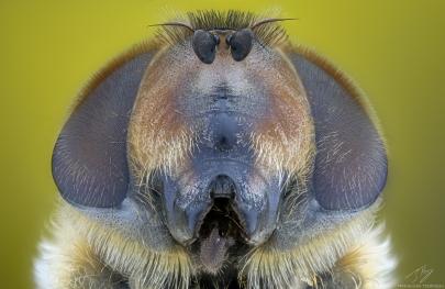 Syrphidae4.jpg