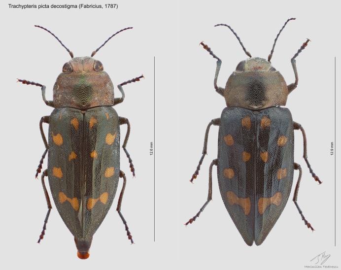 Trachypteris picta decostigma.jpg